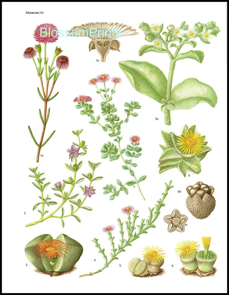 Aizoaceae, Large family of Succulents from the book Flowering.
