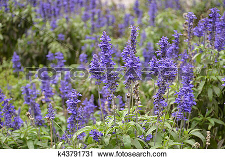 Stock Photography of Blooming blue bugleweeds Ajuga k43791731.