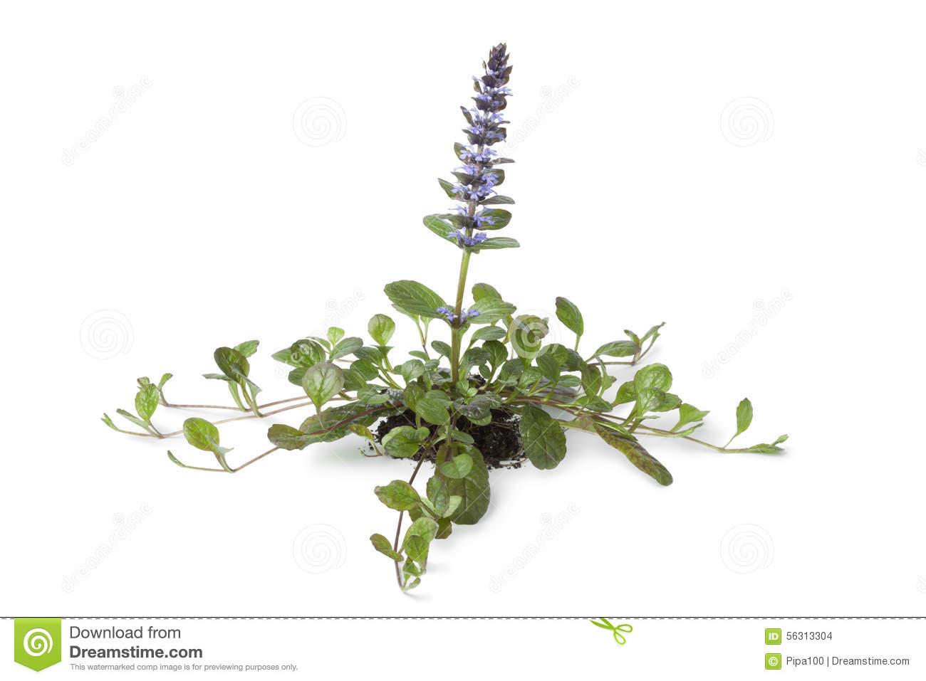 Flowering Ajuga Plant Stock Photo.