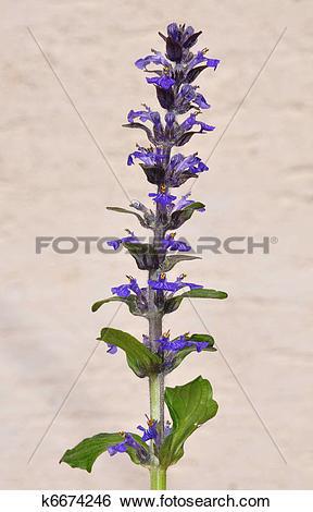 Stock Images of Blue bugle (Ajuga reptans) k6674246.