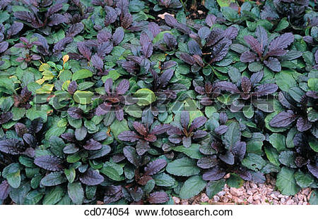 Bugleweed Stock Photo Images. 80 bugleweed royalty free pictures.