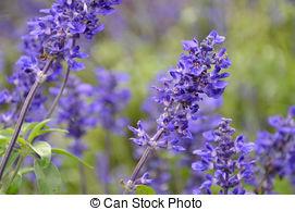 Stock Image of Blooming blue bugleweeds Ajuga in the summer meadow.
