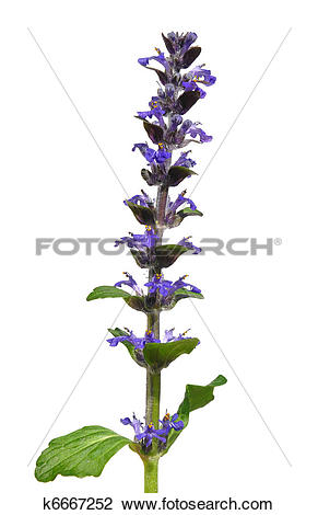 Stock Photo of Blue bugle (Ajuga reptans) k6667252.