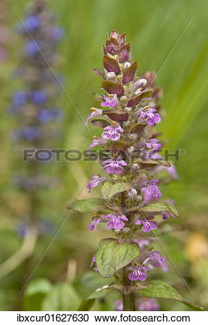 """Stock Photography of """"Bugleherb or Bugleweed (Ajuga reptans), pink."""