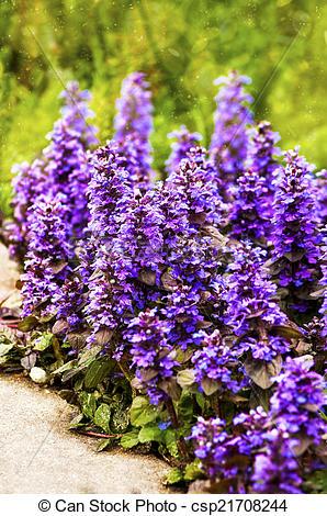 Stock Photo of Carpet bugle flowers background (Ajuga reptans.