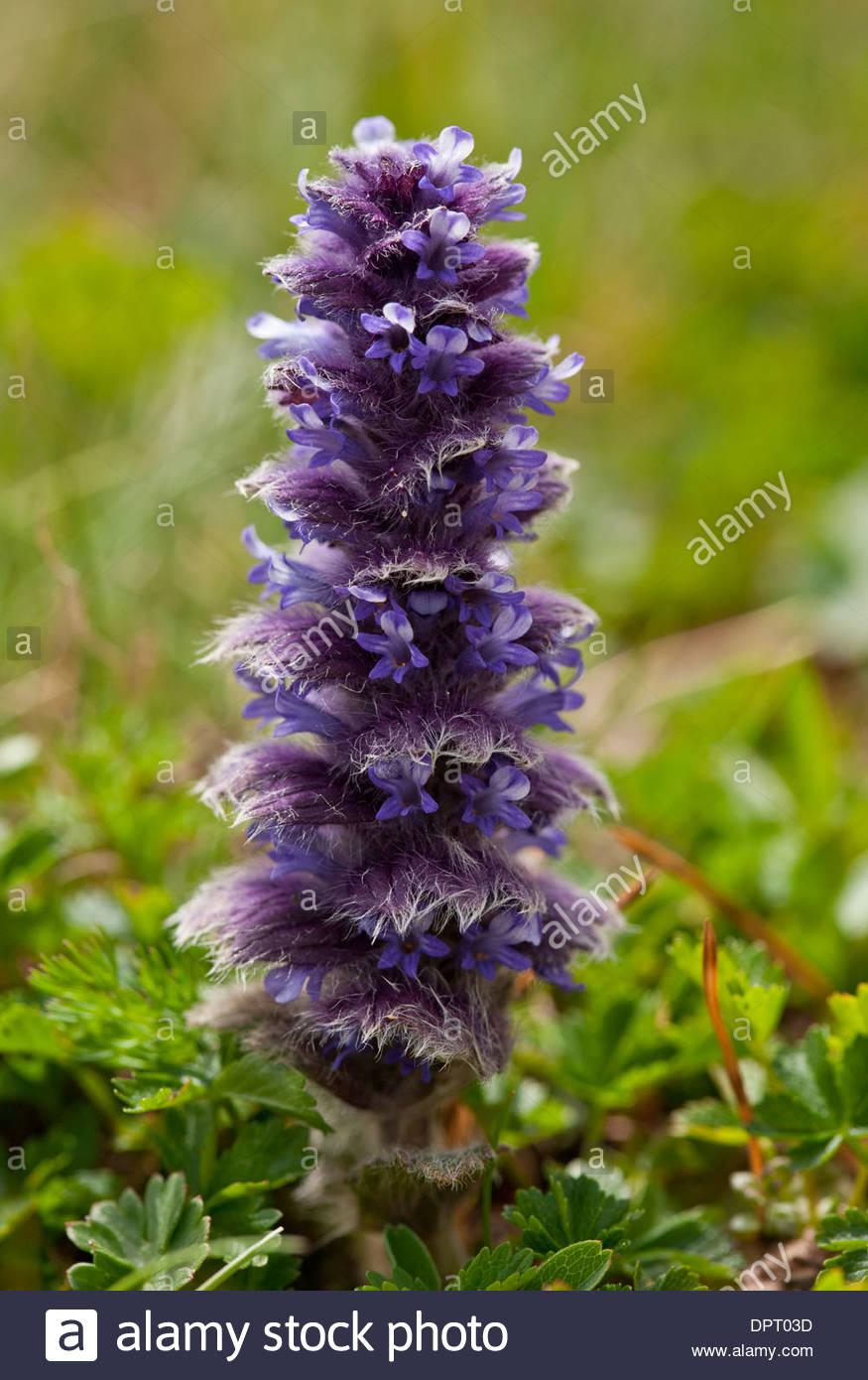 Pyramidal Bugle, Ajuga Pyramidalis In Flower In High Alpine.