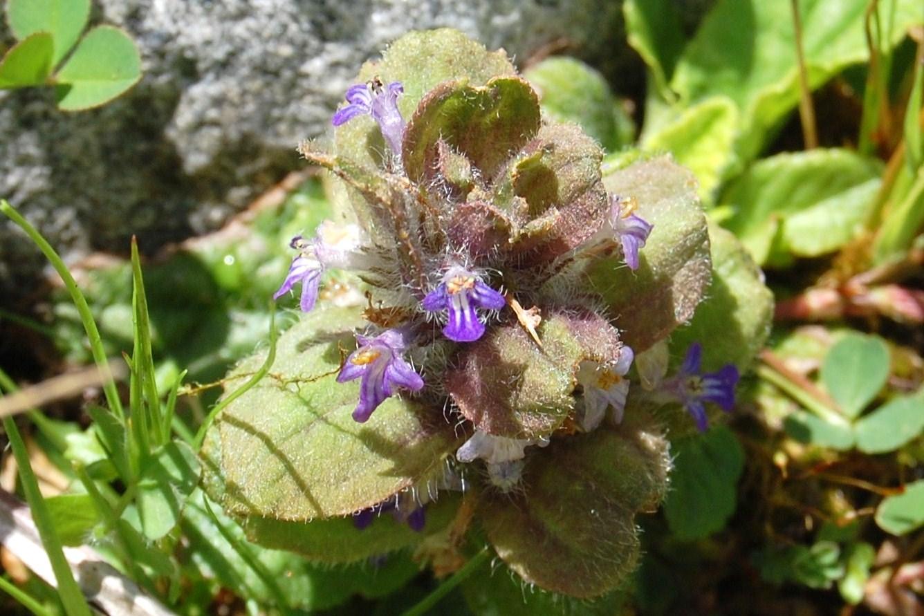 Plantas: Beleza e Diversidade: Ajuga pyramidalis subsp. meonantha.