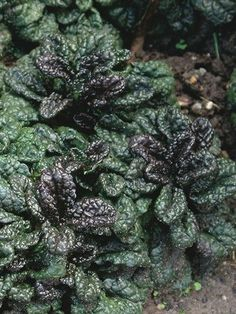 Bugleweed 'Toffee Chip'. Ajuga reptans. 4.