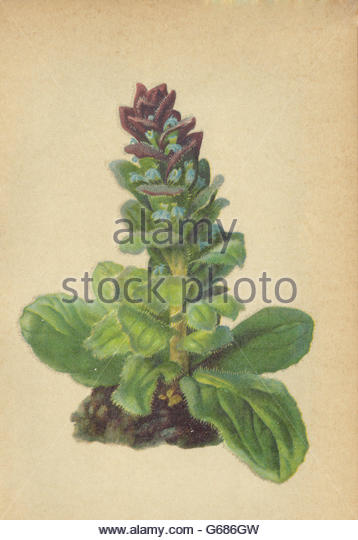 Ajuga Pyramidalis Stock Photos & Ajuga Pyramidalis Stock Images.