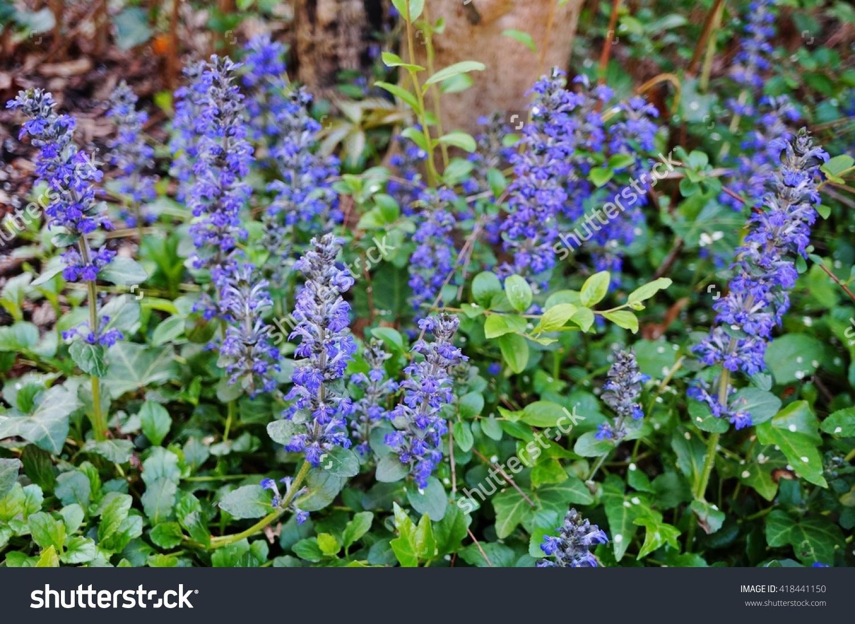 Carpet Bugle Weed Ajuga Reptans Flower Stock Photo 418441150.