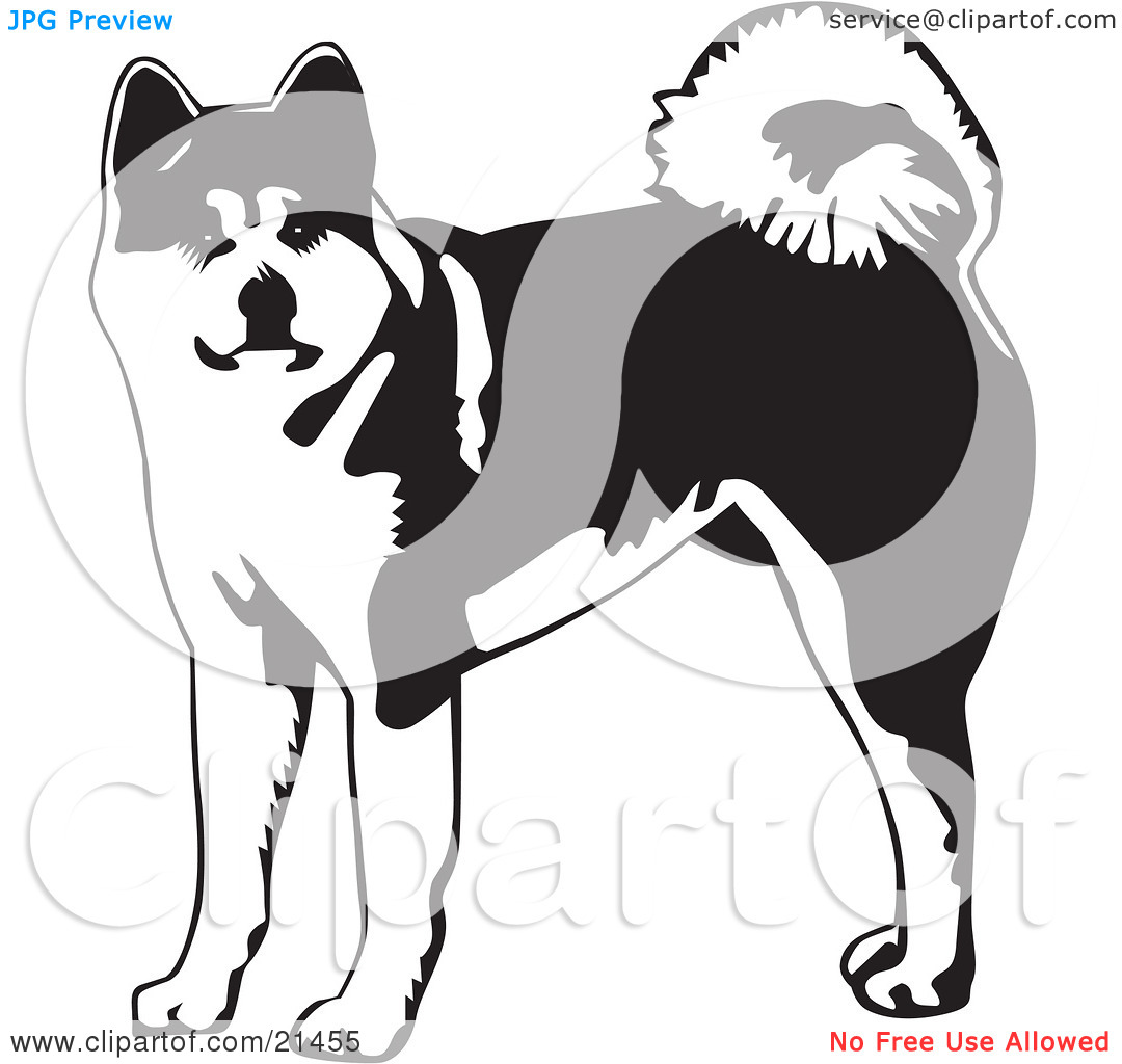 Clipart Illustration of an Alert Akita Dog With A Curled Tail.