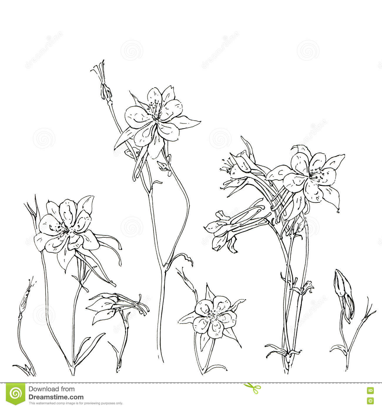 Hand Dragen Grafisk BlommaAquilegia Akleja Stock Illustrationer.