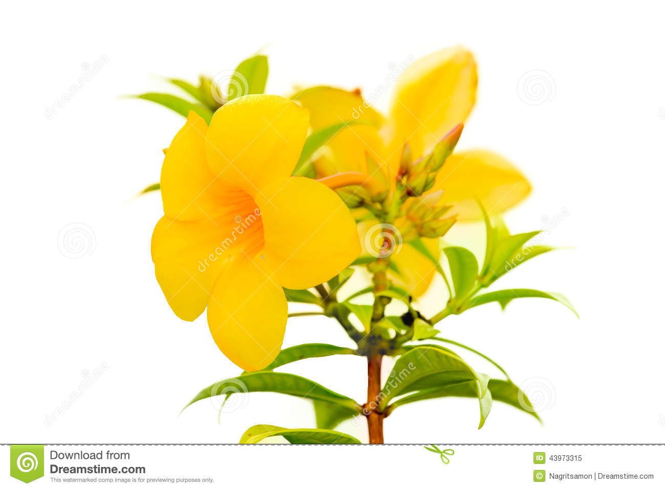 Allamanda Flower Isolated On White Stock Photography.