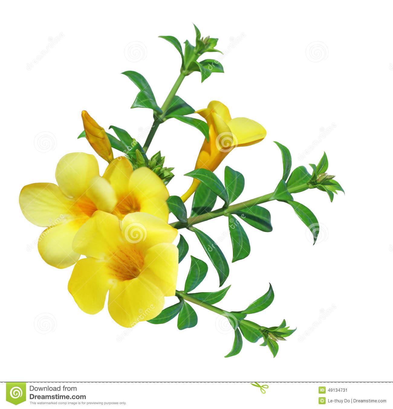 Allamanda Flower Stock Photos, Images, & Pictures.