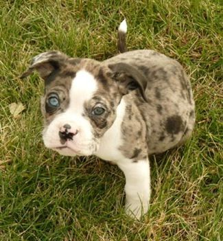 17 Best images about Alapaha Blue Blood Bulldog on Pinterest.