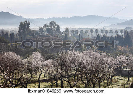 """Stock Photograph of """"Almond blossom, blooming almond trees (Prunus."""