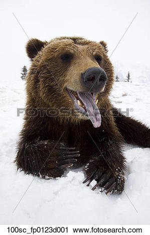 Stock Photography of CAPTIVE Brown bear resting in snow at the.