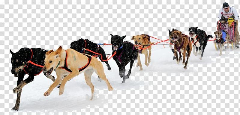 Siberian Husky Alaskan Malamute Eurohound Sled dog Dog sled.
