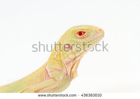 "albino Iguana"" Stock Photos, Royalty."