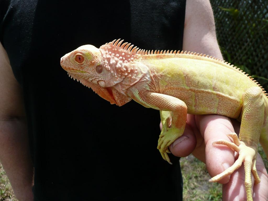 Breeding albino iguanas.