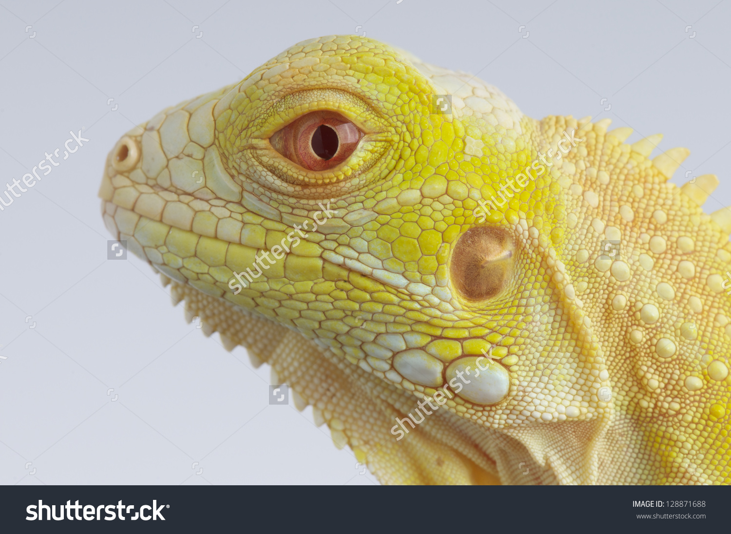 Albino Iguana Stock Photo 128871688.