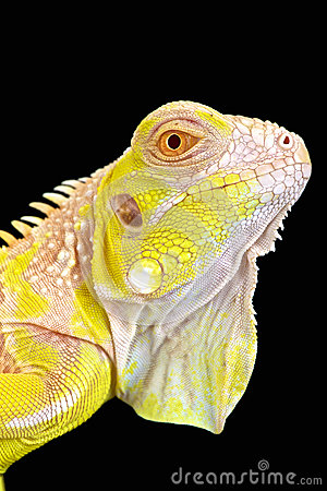 Albino Iguana Royalty Free Stock Photo.