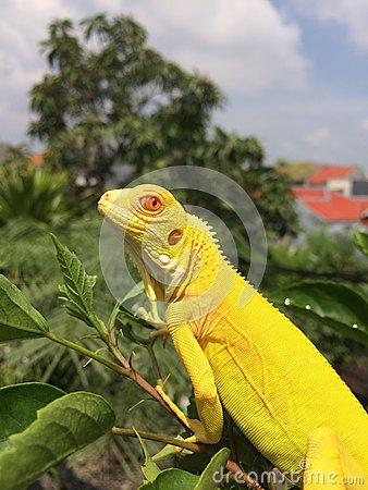 Albino Iguana (Iguana Iguana) Stock Photo.