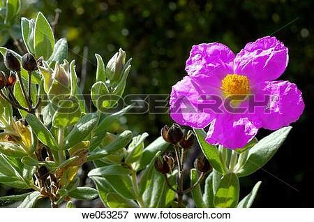 Picture of Rock Rose (Cistus albidus) we053257.