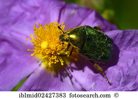 Albidus Stock Photos and Images. 28 albidus pictures and royalty.