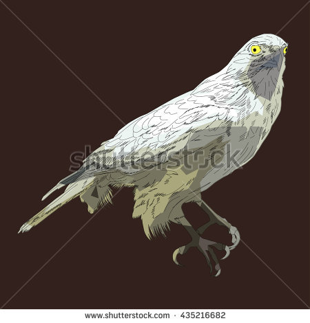 Accipiter Stock Vectors, Images & Vector Art.