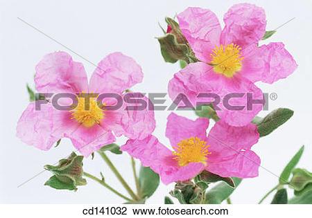 Stock Photo of Rock Rose (Cistus albidus) cd141032.