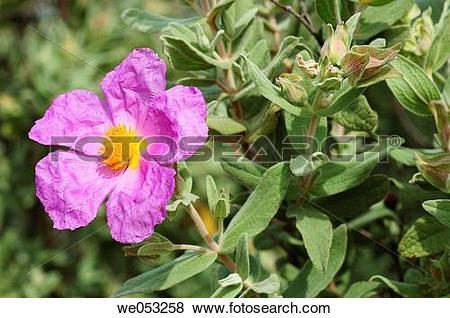 Pictures of Rock Rose (Cistus albidus) we053258.