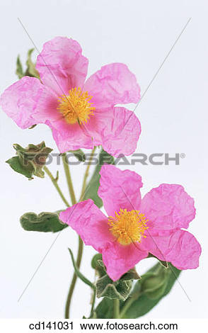 Stock Photography of Rock Rose (Cistus albidus) cd141031.