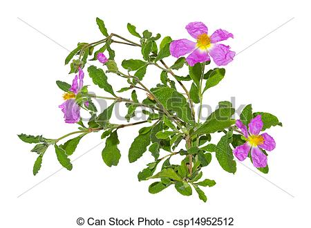 Stock Photography of Pink flowers of the Rockrose or Cistus.