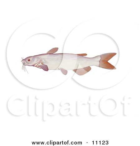 Clipart Illustration of an Albino Channel Catfish (Ictalurus.
