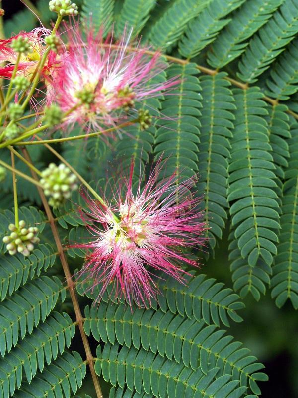 Mimosa Tree Albizia julibrissin.