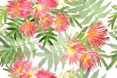 Albizia Stock Illustrations.