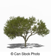 Albizia Illustrations and Stock Art. 2 Albizia illustration and.