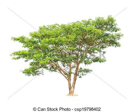 Stock Photography of Rain tree (Albizia saman), tropical tree in.