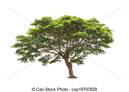 Stock Photo of Rain tree (Albizia saman), tropical tree in the.