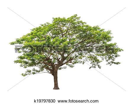 Stock Photography of Rain tree (Albizia saman), tropical tree.