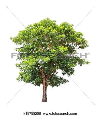 Stock Image of Rain tree (Albizia saman), tropical tree k19798285.