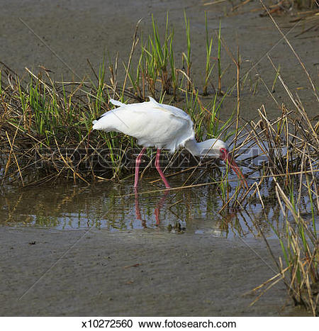Stock Photography of American White Ibis, Eudocimun albus.