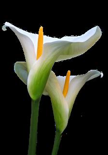 Pin de miquixtli en Calla lily.