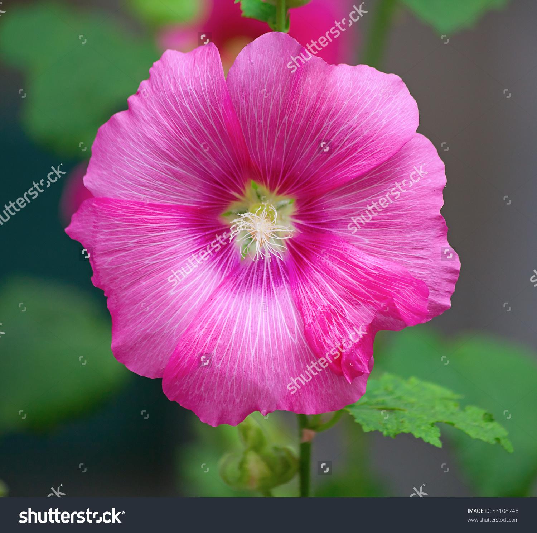 Malva (Alcea Rosea Hollyhock) Flower Stock Photo 83108746.