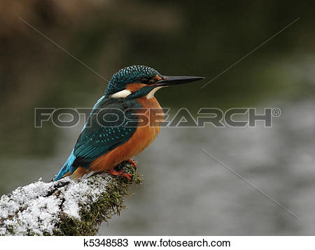Stock Photo of Portrait of a Kingfisher (Alcedo atthis) on his.