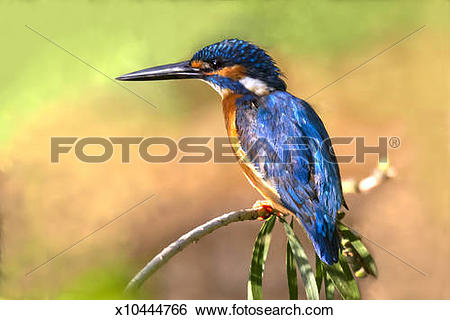 Stock Images of Small Blue Kingfisher (Alcedo atthis) x10444766.