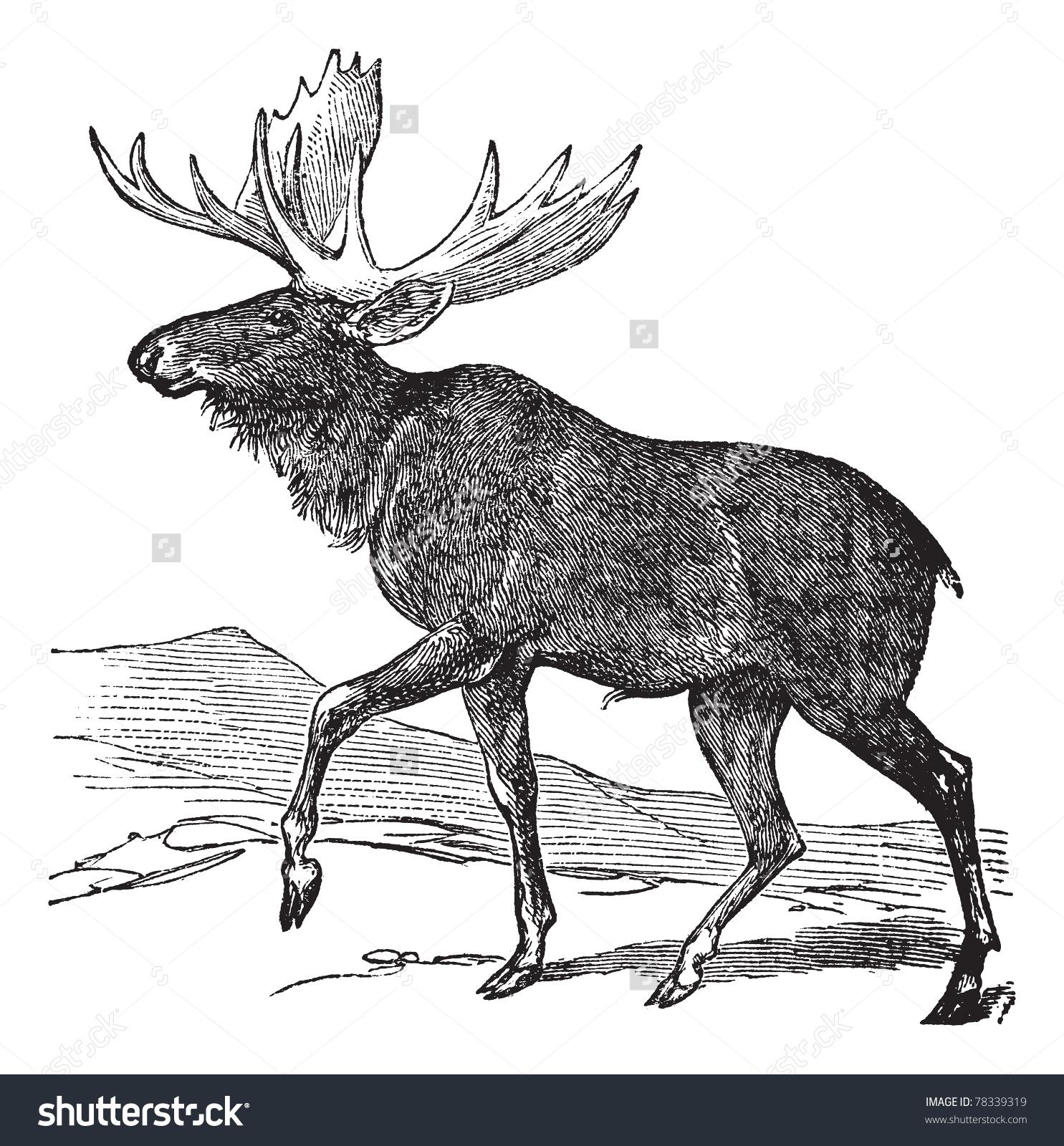 Moose Eurasian Elk Alces Alces Vintage Stock Vector 78339319.