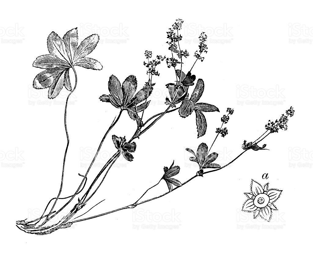 Antique Illustration Of Alchemilla Alpina stock vector art.