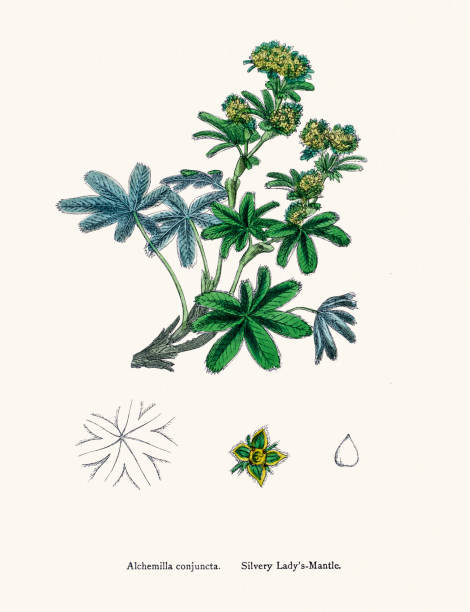 Alchemilla Clip Art, Vector Images & Illustrations.